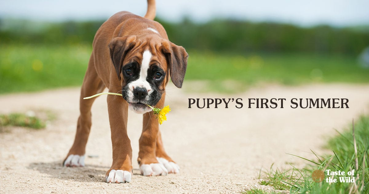 Boxer type puppy holding a yellow flower in its mouth | Taste of the Wild