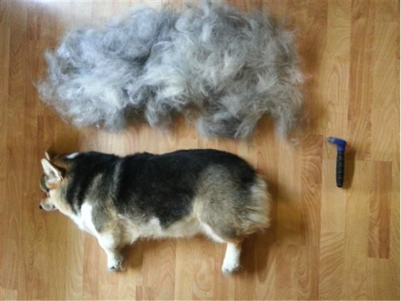 Corgi Shedding