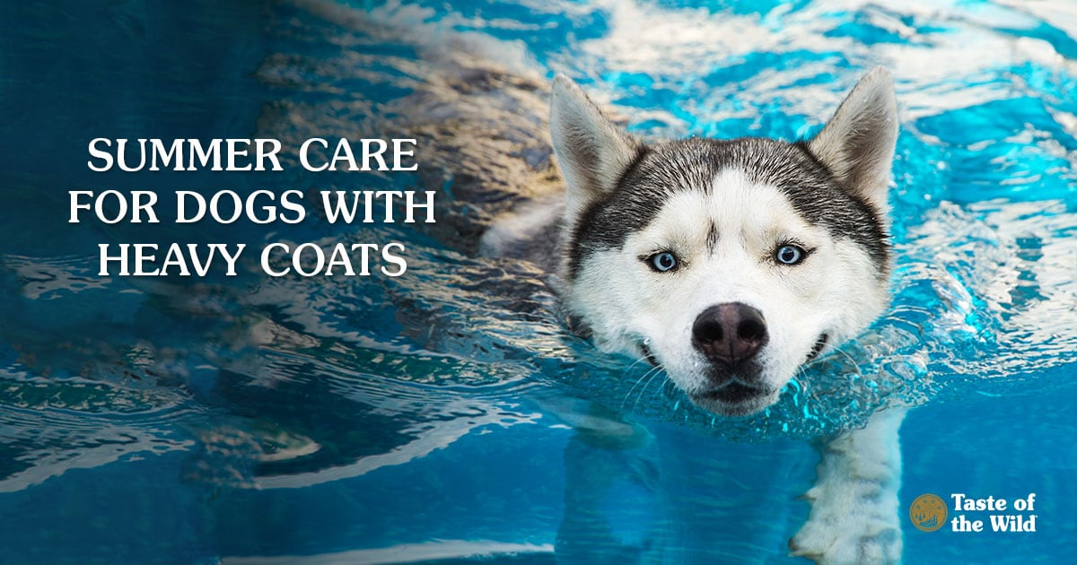 Husky Dog Swimming on a Pool | Taste of the Wild