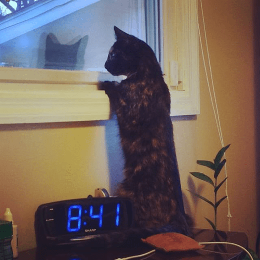 Cat Standing on Table Looking out a Window   Taste of the Wild