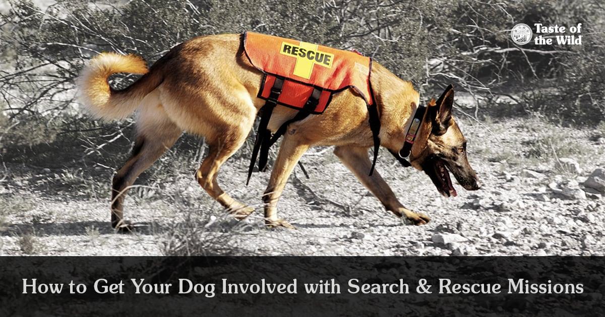 German Shepherd Rescue Dog Wearing an Orange Vest | Taste of the Wild
