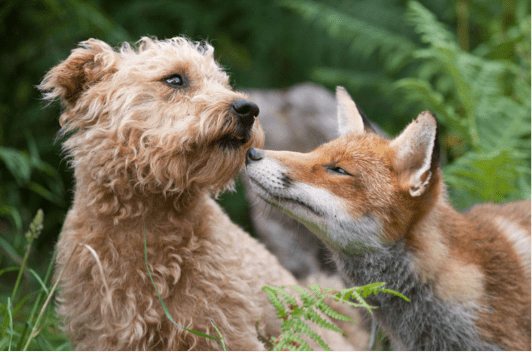 Small Breed Dog and Fox in a Forest | Taste of the Wild