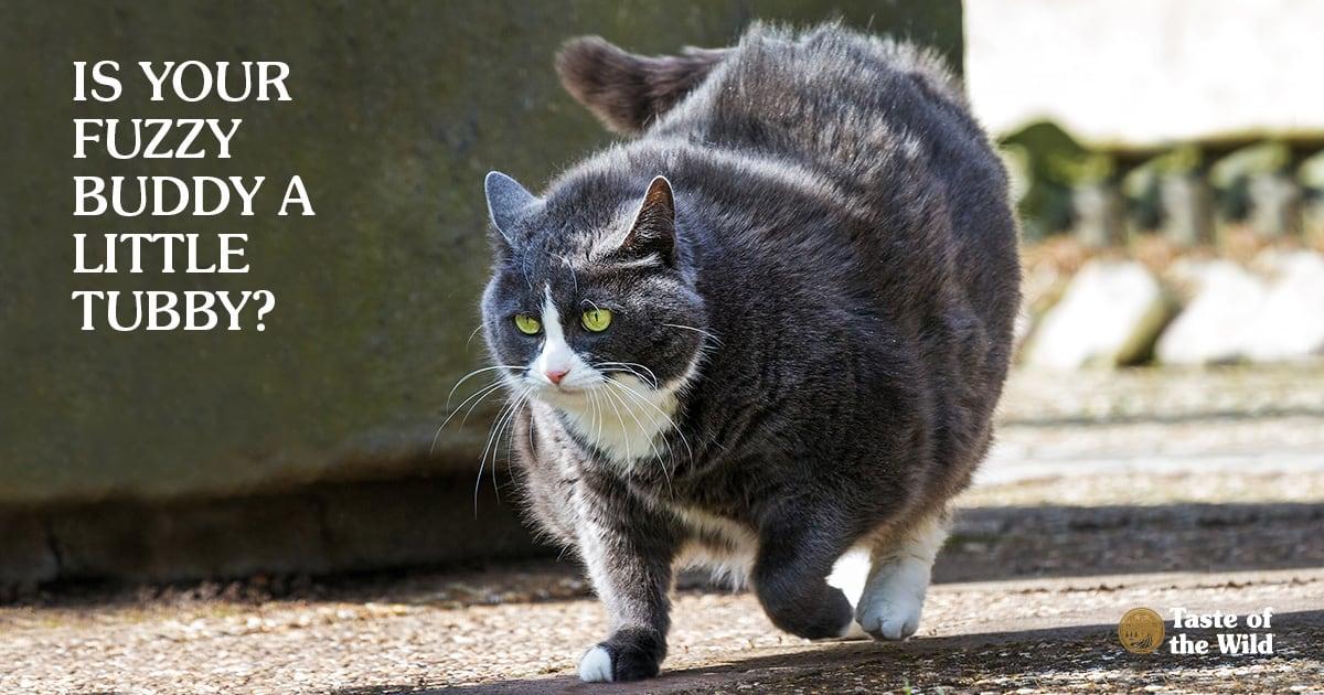 Overweight Cat | Taste of the Wild