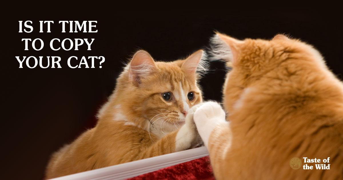 Orange Cat Looking in the Mirror   Taste of the Wild