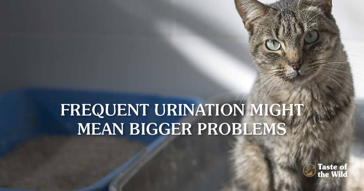 Frequent urination in cats