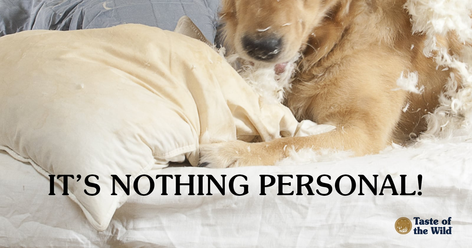 Golden Retriever dog tearing up pillow