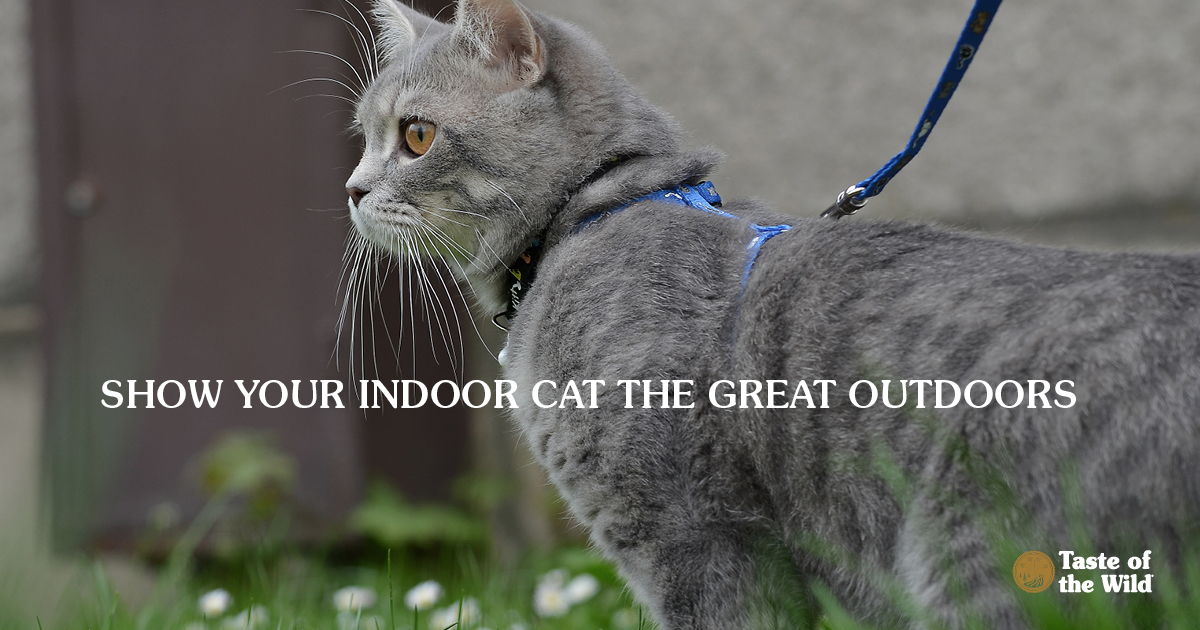 A grey cat on a leash