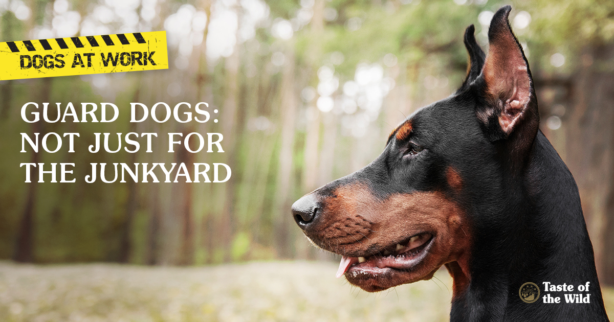 Guard dogs: Not just for the junkyard