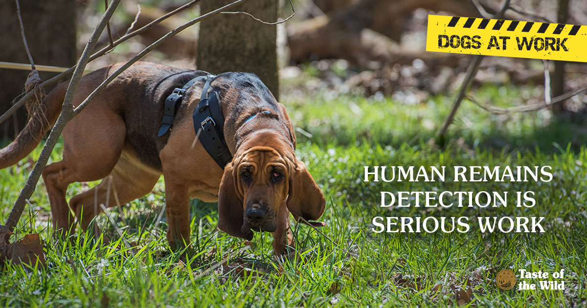 Dogs at Work | Human Remains Detection Is Serious Work