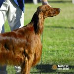 Irish Setter on Podium at Dog Show | Taste of the Wild Pet Food