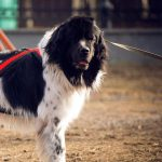 Large Breed Dog Wearing a Cart-Pulling Harness   Taste of the Wild Pet Food