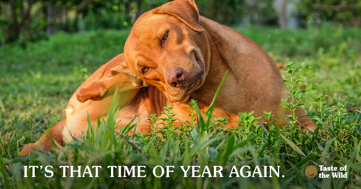 Brown Labrador Mixed Dog Scratching His Ear while Laying on the Grass | Taste of the Wild Pet Food