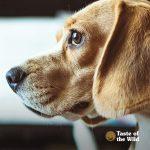 Attentive Beagle Dog   Taste of the Wild Pet Food
