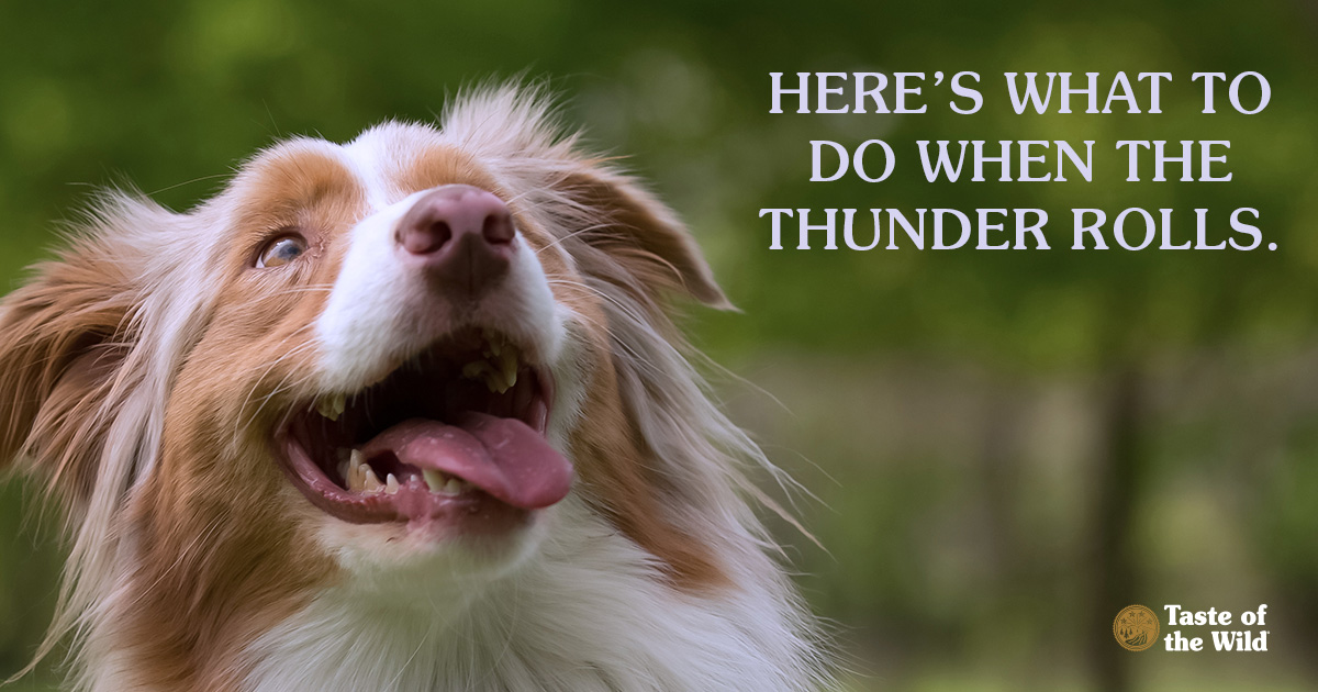 Nova Scotia Duck Tolling Retriever Dog Looking Up at the Sky | Taste of the Wild Pet Food