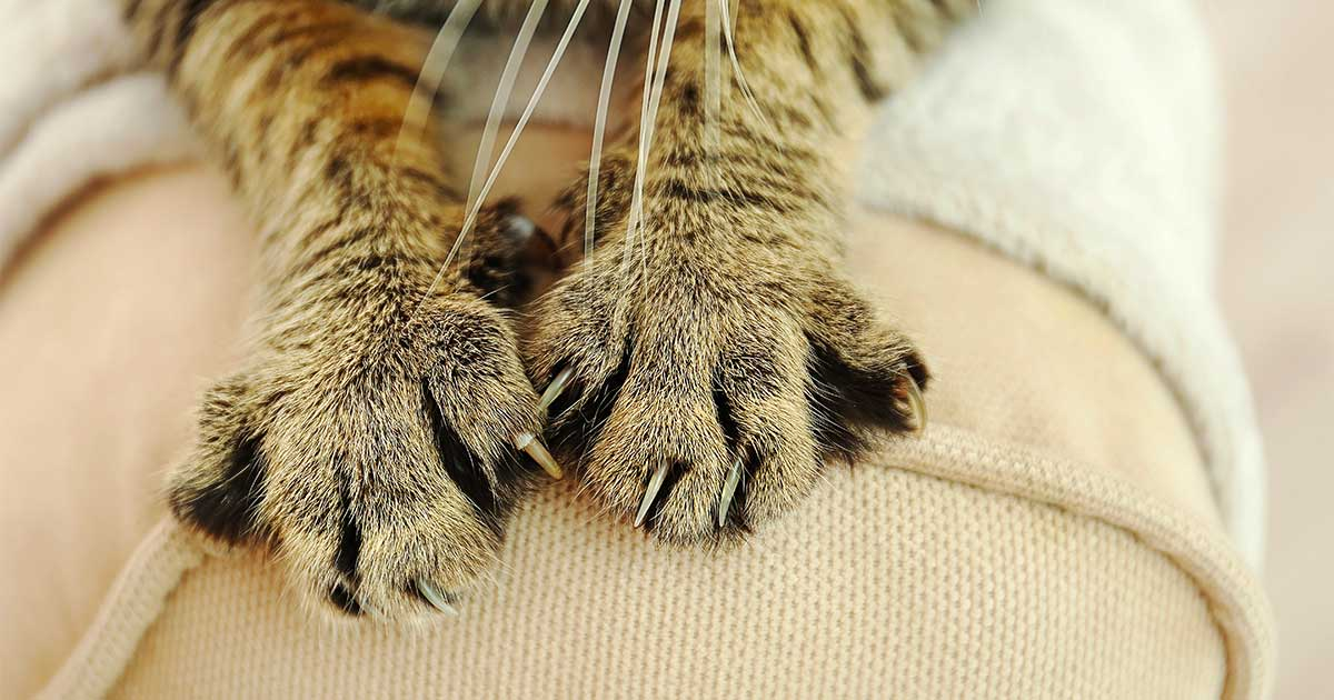 Close-up of Tabby Cat Paws That Have Not Been Declawed | Taste of the Wild Pet Food