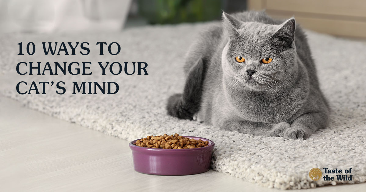 British Shorthair Cat Near Bowl with Food at Home | Taste of the Wild Pet Food
