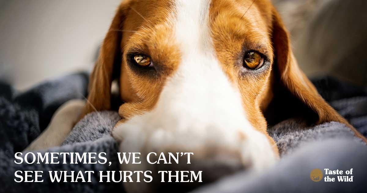 Beagle Dog Lying on a Grey Blanket   Taste of the Wild Pet Food