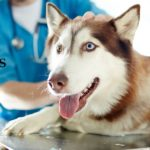 Husky Dog Lying on Table at Vet Clinic and Veterinary Technician in the Background | Taste of the Wild Pet Food