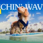 Long-haired Dachshund Dog Surfing at the Beach | Taste of the Wild Pet Food