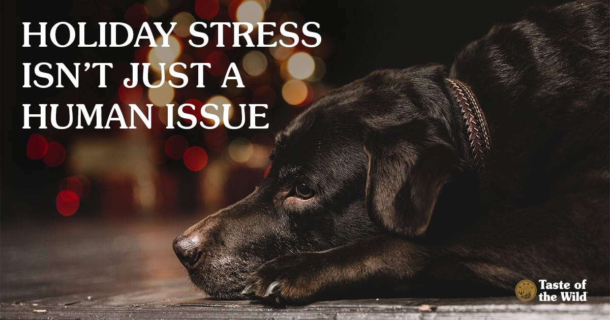 Worried Black Labrador Dog Lying on the Ground Near Holiday Presents | Taste of the Wild Pet Food