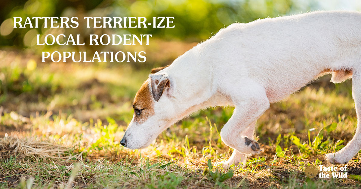 Ratters Terrier-ise Local Rodent Populations | Taste of the Wild