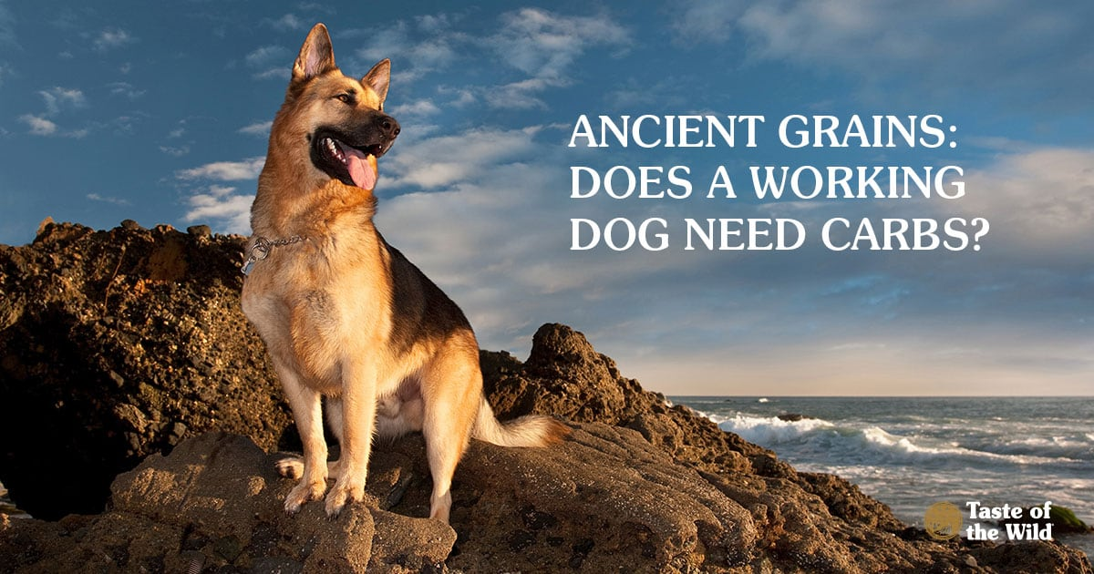 German Shepherd Sitting on Sea Cliffs | Taste of the Wild
