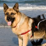 Dog in a Wheelchair at the Beach | Taste of the Wild
