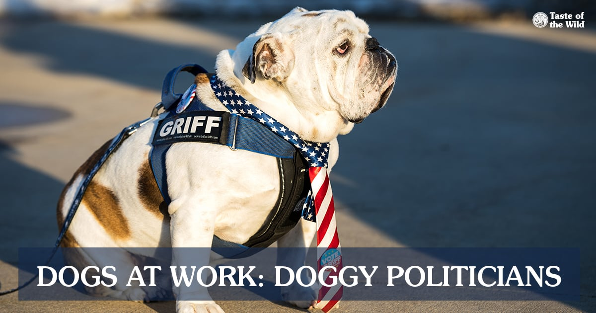Bulldog Wearing an American Flag Tie | Taste of the Wild