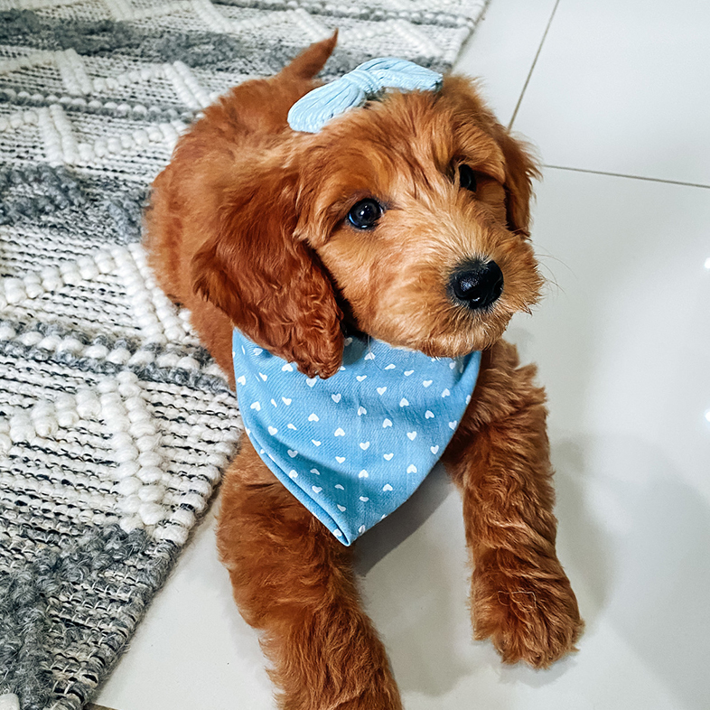Goldendoodle with a Bandana and Bow | Taste of the Wild