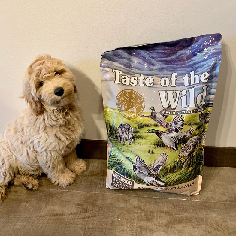 Goldendoodle Posing with Taste of the Wild with Ancient Grains Bag | Taste of the Wild