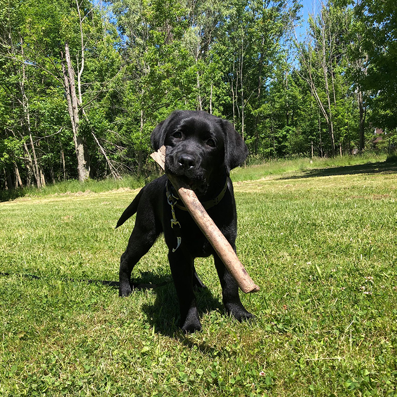 Puppy with Stick in Mouth | Taste of the Wild
