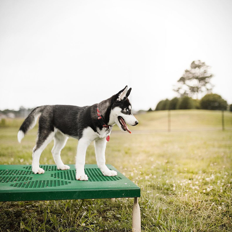 Siberian Husky at the Park | Taste of the Wild