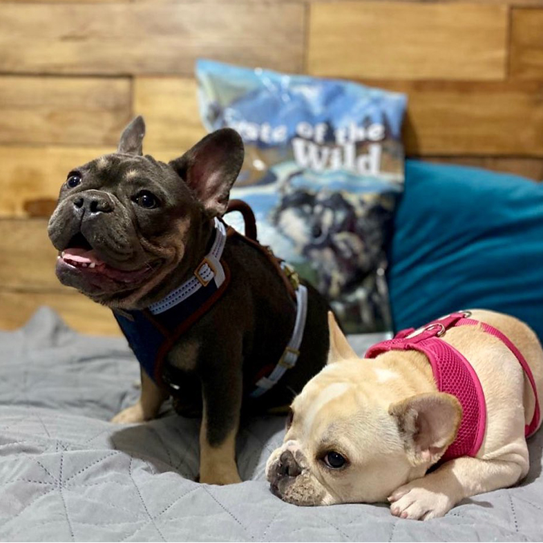 Two French Bulldogs Posing with Taste of the Wild Bag | Taste of the Wild