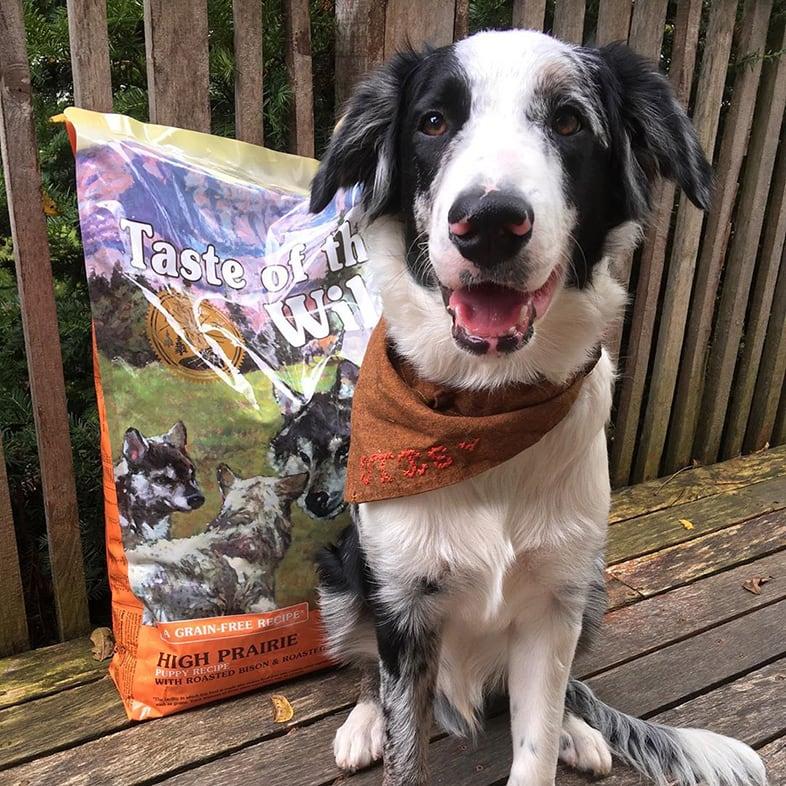 Aussie Dog Posing with Taste of the Wild Bag | Taste of the Wild