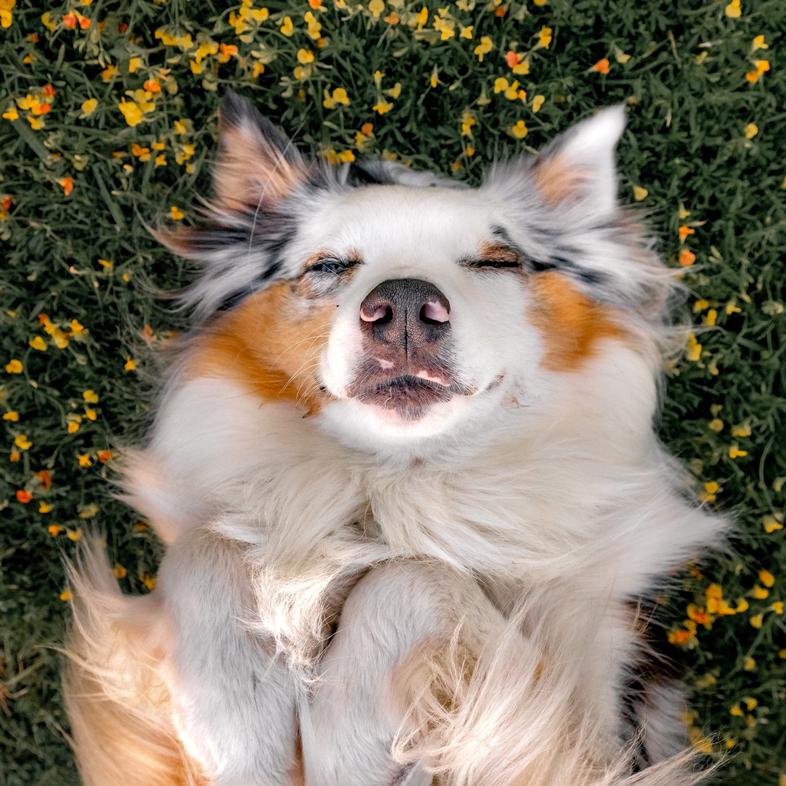 Australian Shepherd Lying In Wildflowers | Taste of the Wild