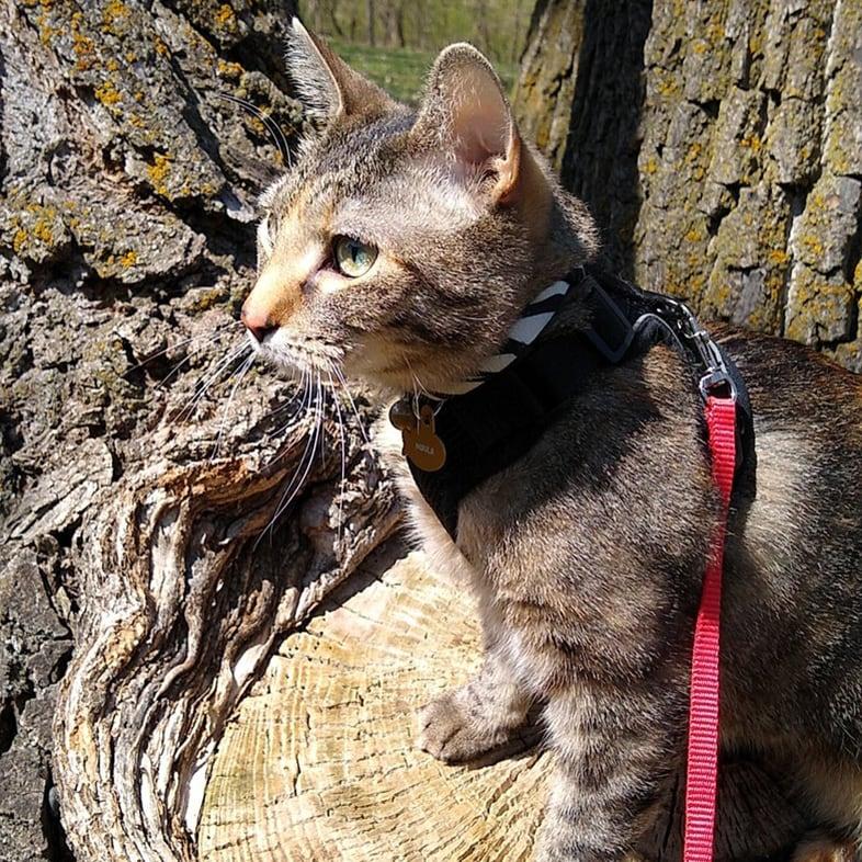 Cat Wearing Leash Sitting on Tree | Taste of the Wild