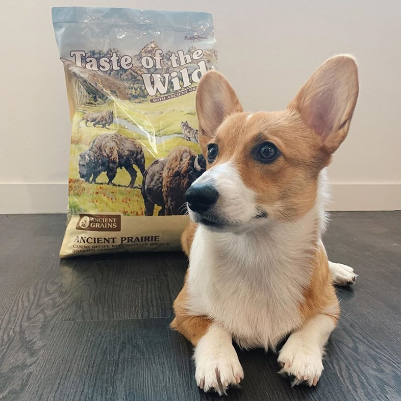 Corgi Dog Posing with Taste of the Wild with Ancient Grains Bag | Taste of the Wild
