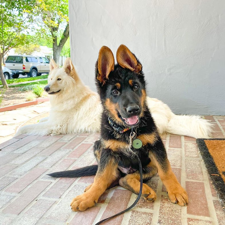 German Shepherd Sitting on Porch with Husky | Taste of the Wild
