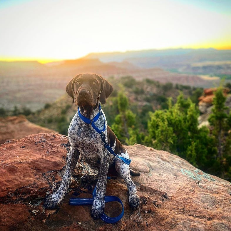 German Shorthaired Pointer Wearing Leash | Taste of the Wild