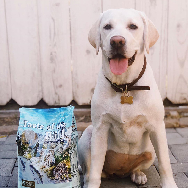 Labrador Retriever Posing With Taste Of The Wild Dog Food Bag | Taste of the Wild