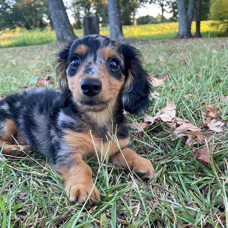 Mini Dachshund Laying in Grass | Taste of the Wild