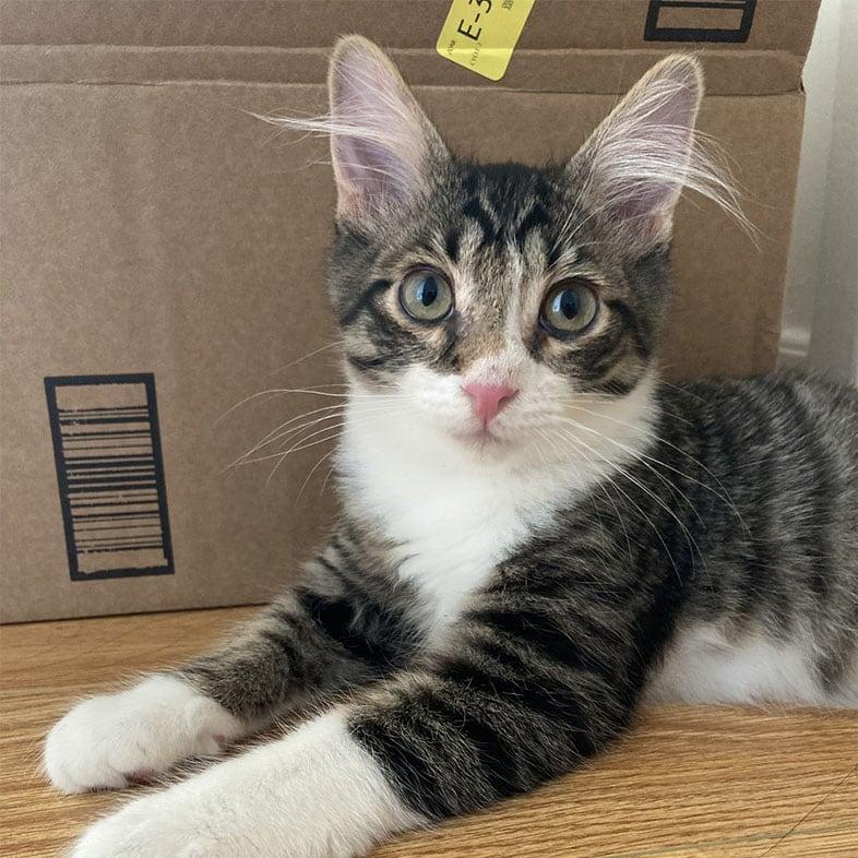 Cat Lying by Box | Taste of the Wild
