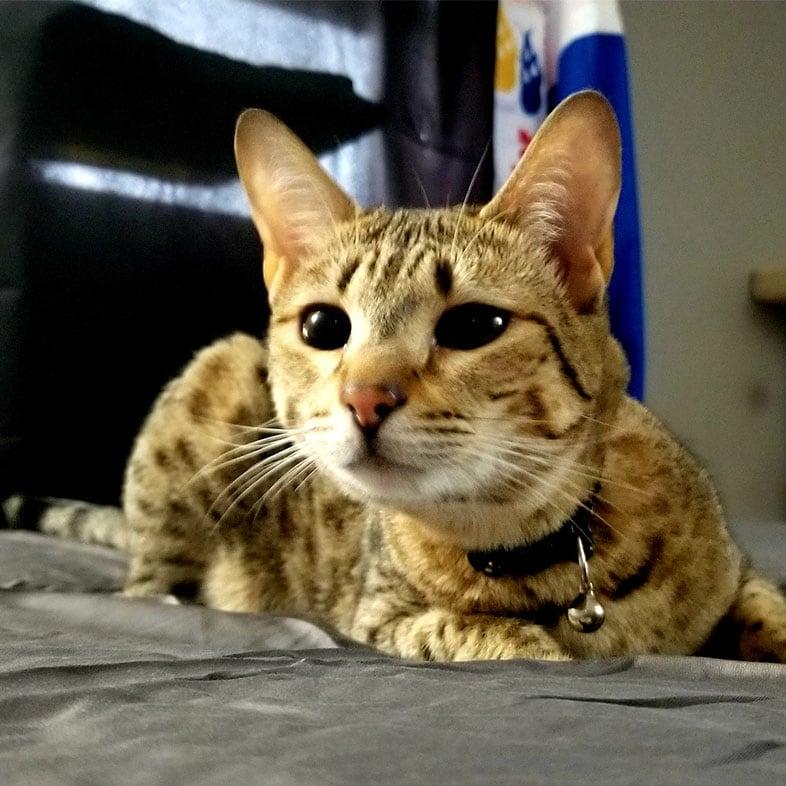 Cat Lying on Bed | Taste of the Wild