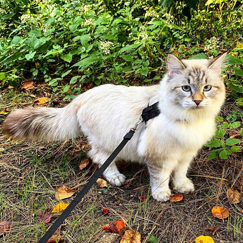 Cat With A Leash Walking Outdoors | Taste of the Wild