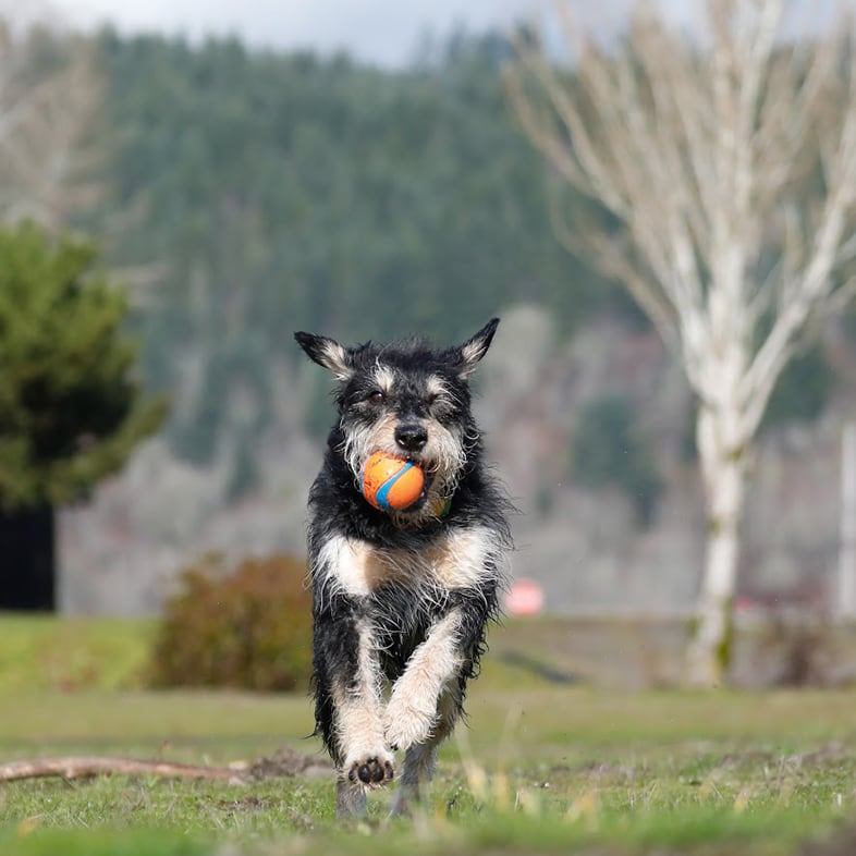 Dog Running With Ball In Mouth | Taste of the Wild