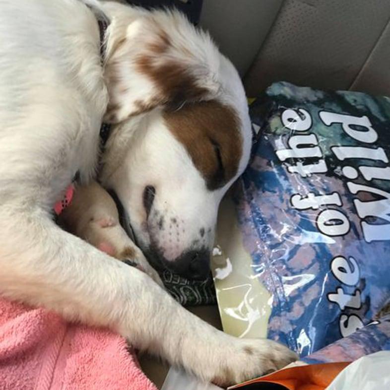 Dog Sleeping On Taste Of The Wild Dog Food Bag | Taste of the Wild