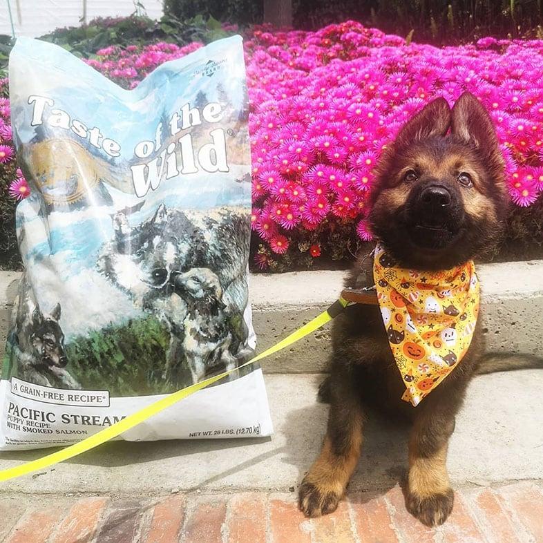 German Shepherd Puppy with Taste of the Wild Dog Food Bag | Taste of the Wild