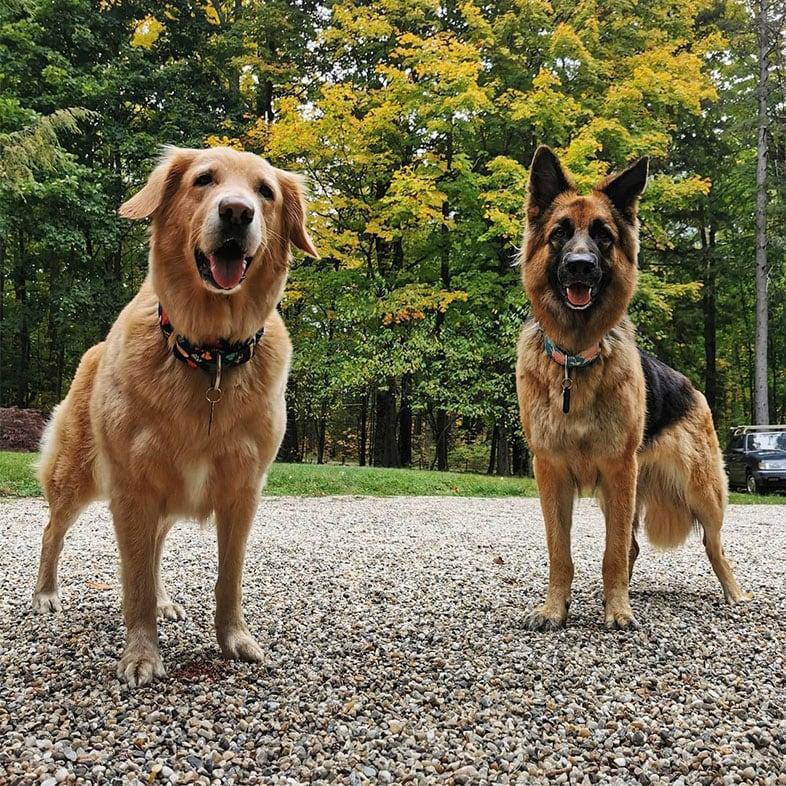 Golden Lab and German Shepherd Outside Posing | Taste of the Wild