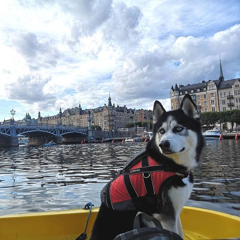 Husky on a Boat | Taste of the Wild