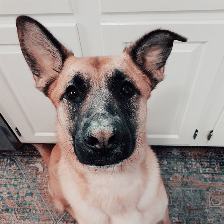 Belgian Malinois Mix Dog Looking Up at the Camera | Taste of the Wild